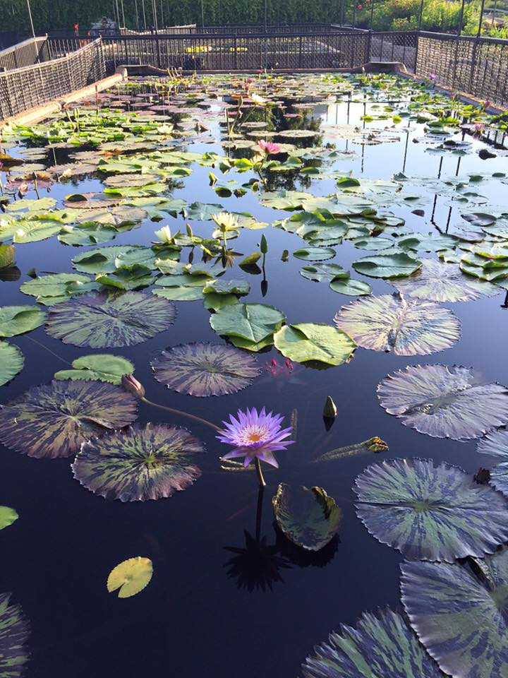 lily pad garden2